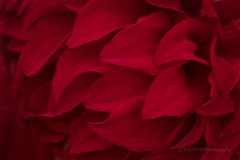 Petals of Red Dahlia (_TAKATEN_) Tags: sony alpha a7rii a7rm2 sigma mc11 flower dahlia macro 150mm