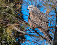 Black kite (Milvus migrans)-8044 (George Vittman) Tags: bird raptor kite tree branch portrait nikonpassion wildlifephotography jav61photography jav61 fantasticnature