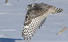 Skimming For Prey (Bill G Moore) Tags: snowyowl naturephotography birdofprey raptor wild wildlife canon chicago illinois snow winter
