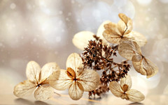 Winter Flowers (Through Serena's Lens) Tags: hydrangeas dried flower bokeh winter stilllife plant petals fragile delicate dof macro closeup canoneos6dmarkii