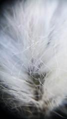 Myrull (Steve lunn) Tags: flowers closeup macrolens