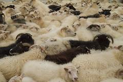It's getting hot in here.... (^Diana^) Tags: 6572c sheep ewe ram wool hot travel iceland westiceland rettir herding itsgettinghotinhere black jumper horns