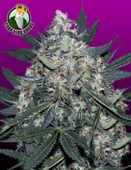 Black_Indica-240x312 (Watcher1999) Tags: black indica cannabis seeds marijuana medical growing strain plant weed smoking weeds ganja legalize it insomnia pain relief chronic reliever