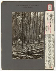 1932. Converted prairie land. A 50 year old Douglas-fir stand on old prairie land that belonged to Mr. Ashby; he has just cut off this tract and got an avergage of about 3,000 linear feet of mine timber to the acre. Near Cottage Grove, Lane County, Oregon (USDA Forest Service) Tags: usda usfs forestservice foresthealthprotection stateandprivateforestry foresthealth nationalarchivesandrecordsadministration nara prairie convertedprairie douglasfir minetimber ashby lanecounty cottagegrove oregon prairieland thorntontmunger 1932 95gp223086707 86707