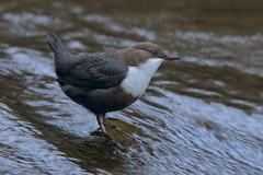 Merlo Acquaiolo (Polpi68) Tags: merlo acquaiolo birds bird birdwatching nature nikon wildlife wild