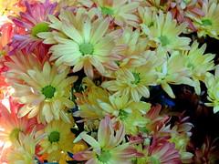 Colours (Khaled M. K. HEGAZY) Tags: nikon coolpix p520 singapore flowerdome nature outdoor indoor closeup macro stamen pistil plant flower petal green yellow white violet pink black زهرة زهور أزهار