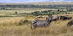 PLAIN'S ZEBRA: AFRICAN BAR CODES (John C. Bruckman @ Innereye Photography) Tags: plainszebra kenya maasaimara botswana stripes heatcontrol camouflage pattern barcodes foals migration bluewildebeest antelope serengeti tanzania