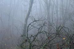 Mount Talbert (Tony Pulokas) Tags: portland oregon mttalbert mounttalbert mounttalbertnaturepark forest tree bokeh blur maple fog moss autumn fall alder bigleafmaple
