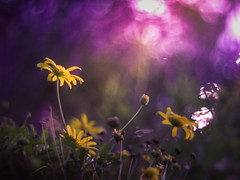 Yellow and purple twilight (Tomo M) Tags: flower アメジストセージ dusk evening nature llight bokeh blur outdoor tokyo helios