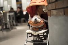 2018/12 (Pierce Wu) Tags: leica camera ag m10 aposummicronm 1250 asph dog 狗
