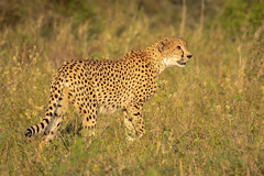 Cheetah / Jachtluipaard (Wim Hoek) Tags: jachtluipaard safari zimangagamereserve mammals landroofdieren afrika acinonyxjubatus africa carnivora cheetah expedition gamedrive predator zoogdieren jozininu kwazulunatal southafrica za