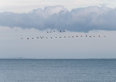 Flying high... (gilliesavo. Catching up :)) Tags: geese nature flight sea calm layers abstract birds beauty serenity coastal kent france coastline migration