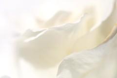 White on White (haberlea) Tags: home athome white onwhite whiteonwhite macromondays macro petals flower rose gentle soft