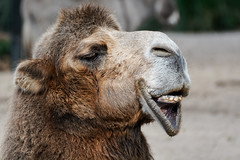 Ah, So You Talked To The Sea Lion That Doesn't Speak To Seagulls! Cocky Animal! (Alfred Grupstra) Tags: animal camel mammal nature animalhead outdoors wildlife closeup brown dromedarycamel hump desert llama cute humanface zoo portrait fur 99