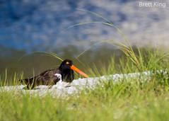 Oyster Catcher (dbking2162) Tags: fortmyersbeach florida birds bird beautiful beauty beach black outside ocean orange green oystercatcher sand explore eyes