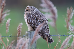 Short Eared Owl (drbut) Tags: shortearedowl asioflammeus birdofprey voles fields farmland bird birds wildlife nature canonef600f4lisusm