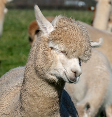 Alpaca (Jill Hempsall) Tags: walking alpaca hairdo haircut animal fleece