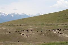 American Bison (Bison bison) 06-13-2009 National Bison Range--loop drive, Sanders Co. MT 2 (Birder20714) Tags: mammals montana buffalo bovidae bison