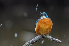 EM167462 (Rstudi) Tags: olympus em1 mzuiko 300mm f4 pro nature bird telephoto kingfisher snow jégmadárhavazás orangeblue