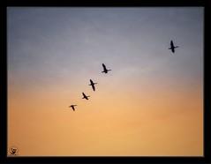 #uae.#dubai #dubai_creek #old_dubai #birds #sea_birds #grayheron #silhouette #sunset #birdscovey #birds_covey  #الإمارات #دبي #خور_دبي #خوردبي #دبي_القديمة #طائر #طيور #سلويت #غروب #رف (alrayes1977) Tags: uae dubaicreek olddubai birds seabirds grayheron silhouette sunset birdscovey الإمارات دبي خوردبي دبيالقديمة طائر طيور سلويت غروب رف
