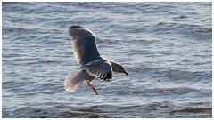 Gull_1080381 (HJSP82) Tags: 20190123fileybriggbirds path filey brigg seashore sea shore coast rocks cliffs