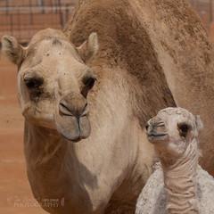 In Explore!   ............Dromedary and young (Nanooki) Tags: middleeast oman ©suelambertlrpscpagb camel dromedary arabiancamel sharquiyasands animal domesticanimal explored week16