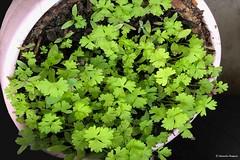 Noir-intense®®© (alexandrarougeron) Tags: photo alexandra rougeron flickr fleurs nature plante végétal végétale ville beauté couleur frais