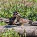 Aix sponsa (Wood Duck)