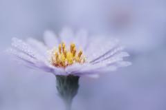 pic et pic (christophe.laigle) Tags: christophelaigle fleur macro mauve nature gouttes fuji purple pluie drops xpro2 xf60mm flower