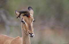 Red-billed Oxpecker on Impala -5535 (Theo Locher) Tags: birds buphaguserythrorhynchus oiseaux redbilledoxpecker rooibekrenostervoël vogels vögel zuidafrika southafrica copyrighttheolocher krugernationalpark kruger bergendal impala