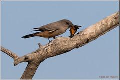 Say's Phoebe with Catch 5426 (maguire33@verizon.net) Tags: sanjacintowildlifearea saysphoebe sayornissaya bird flycatcher wildlife