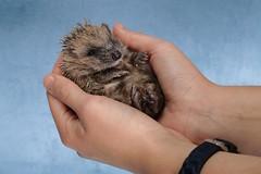 'Marnie' (Jonathan Casey) Tags: rescue wildlife hedgehog hoglet baby pact sanctuary norfolk nikon d850 sigma 50mm f14 art