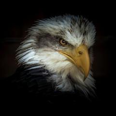Formidable (10000 wishes) Tags: birdofprey eagle wildlifephotography beauty portrait avian raptor bird beak americanbaldeagle