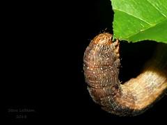 Tulip-tree Beauty_2018.06.14 (2 of 2) (Urutu_From_SW_PA) Tags: caterpillar caterpillars mothlarva mothlarvae geometridae geometrid geometer