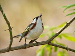 Belting It Out! (Doug Scobel) Tags: canon chestnutsided warbler setophaga pensylvanica magee marsh mageemarsh nature wild bird avian wildlife woods singing warbling