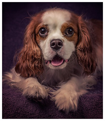 Oliver (Pepenera) Tags: dog dogs cane cani cavalier cavalierkingcharlesspaniel portrait
