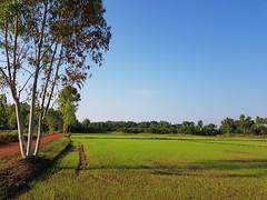New Rice Planting 1 (SierraSunrise) Tags: thailand phonphisai nongkhai isaan esarn rice ricepaddies paddyrice ricepaddy farming agriculture grain poaceae tree euclyptus myrtaceae