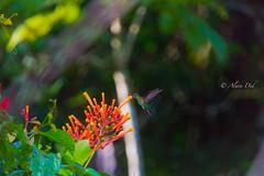 Une beauté miniature (alain_did) Tags: hummingbird guyanefrancaise nature naturallight naturelover naturepics beautyinnature flowers green rainforest amazonie amazonia tropiques faune feuilles couleurs