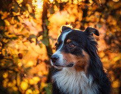beloved brother No.3 (juhwie.foto - PROJECT: LEIDENSCHAFT-LICH-T) Tags: sky fire burn rokinon samyang ricohim pentax twilight tree leaf colours colors autumn sunset portrait pet mybestfriend shepherd australian aussie dog