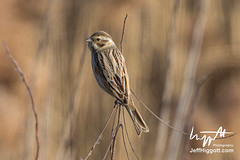 Common or Pallas's Reed Bunting (Jeff Higgott (Sequella.co.uk)) Tags: jeffhiggott jeffhiggottphotography sequella southkorea bird marsh reed sedge