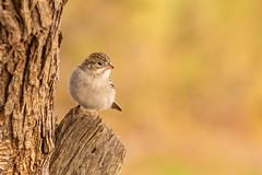 Brewer's Sparrow (gilamonster8) Tags: wood bokeh 400mm beak natuesbest canon flickr animal 5dmarkiv wildlife eosef400mmf56lusm tucson perch bird naturetop tree arizona brewerssparrow perched ngc eos