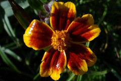 Tagetes (Gartenzauber) Tags: floralfantasy