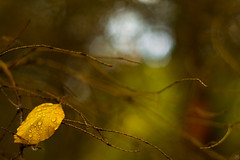 November Moods (Slav.Burn) Tags: autumn colors bokeh leaves forest woods yellow green waterdrops pentaxart smcm50mmf14 fall november impression