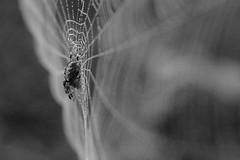 Mount Tabor (Tony Pulokas) Tags: mounttabor mttabor mounttaborpark portland oregon blur bokeh fog autumn fall spider web spiderweb orbweaver araneus sun dew