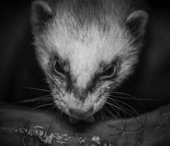 Ferret (danpower123) Tags: ferret animal male smelly stinky bw colour pet portrait albino canon 5d markiii macro wildlife nature photo england indoor