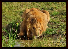 KING OF THE JUNGLE (Panthera leo).......MASAI MARA......SEPT 2014. (M Z Malik) Tags: nikon d3x 200400mm14afs kenya africa safari wildlife masaimara kws exoticafricanwildlife exoticafricancats flickrbigcats leo lions cats ngc npc