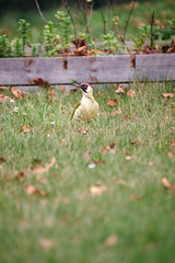 Pic vert à la Saint-Sylvestre (Amanda Hinault - 風流韻事) Tags: ccbysa photobyamandahinault creativecommons fuji xt1 fujixt1 oiseau bird picusviridis picvert