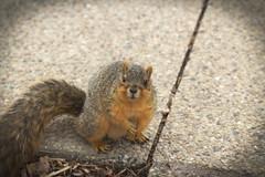 Squirrel, Morton Arboretum. 445 (EOS) (Mega-Magpie) Tags: canon eos 60d nature outdoors squirrel wildlife the morton arboretum lisle il dupage illinois usa america