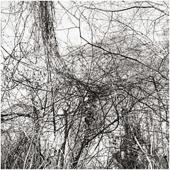 im korkus 277 (beauty of all things) Tags: eschweiler wald forest imkorkus trees treesinthesky bäume quadratisch bw sw gestrypp gestrüpp scrub tangle wirrwarr entropy