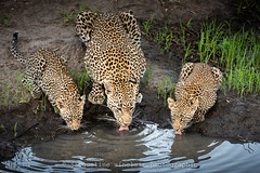 Family Drink (Jacqueline Sinclair) Tags: africa leopard leopards family cubs drink drinking water watering hole spots spotted wild cat cats